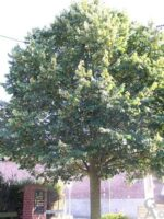 L'arbre de la Liberté - Contributeur : S. Sartori